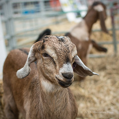 Kid - Steyning Country Fair (Malcolm Bull) Tags: holiday kid country goat bank fair monday include steyning 20150525steyning0022edited1web