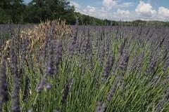 Lavender field near Valensole (ViktorHi) Tags: lavender valensole