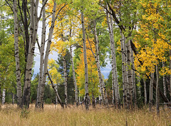 Aspen - Moose/Wilson (Bonnie Bowne) Tags: grandteton tetons wyoming landscape fall