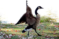 Canada Goose (--Anne--) Tags: autumn canada goose geese canadian bird birds nature wildlife waterfowl