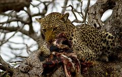 Panthera pardus pardus.., the African Leopard (momathew) Tags: pantheraparduspardus africa leopard africanleopard kruger safari wildlife feline predator bigcat