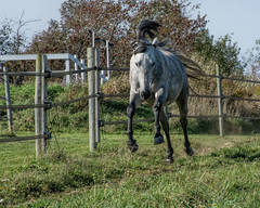 Charge (bambe1964) Tags: andalusian horse gray mare gallop