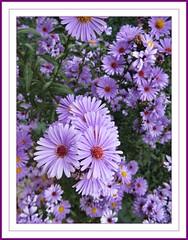 Pequeas maravillas (kirru11) Tags: margaritas flores plantas quel larioja espaa kirru11 anaechebarria canonpowershot