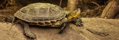 Long way... (sugob05) Tags: zoo dresden animals tiere schildkrte turtle