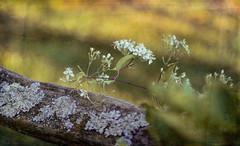 A little bit of nature (bonnie5378) Tags: railfence lichen clematis soybeanfield sep2016 naturescarousel cloth