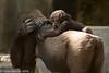 _MGL2450.jpg (shutterbugdancer) Tags: whitecheekedgibbon gorilla jackie rasha bowie fred africanlion westernlowlandgorilla zebra elephant asianelephant gracie bluebonnet elmo belle fortworthzoo gus winifred nubianibex booatthezoo
