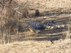 Namibia's Beauty:  11.  Awakening leopard at Okonjima (ronmcbride66) Tags: namibia namibiasbeauty leopard bigcat wildlife awake awakening okonjima leopardtracking repose rest predator toppredator warthog postprandial