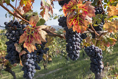 Autumn colors (Marco Ottaviani on/off) Tags: italia italy piemonte piedmont roero vigne vineyards uva grapes colori colors autunno autumn canon marcoottaviani