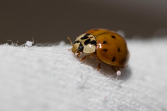 Golden Ladybug (Max Canepa) Tags: ladybug coccinella macro macrofotografia