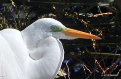 DSC_0898 (rachidH) Tags: birds oiseaux egrets herons aigrette greatwhiteegret garcetagrande ardeaalba whiteheron egrettaalba grandeaigrette plazaitalia buenosaires argentina rachidh nature