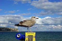 View Point (SteveJM2009) Tags: stevejm2009 stevemaskell seagull telescope gull forcedperspective swanage dorset uk october 2016 sea seaside