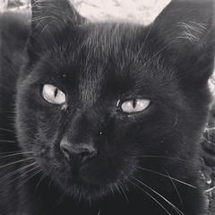 Black Cat (Aerykah) Tags: oklahoma 2016 cat animal pet face portrait blackandwhite bw monochrome monochromatic
