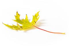 Ahornblatt (photalena) Tags: ahorn herbst laub autumn highkey leave 7dwf flora