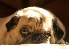 Dookie rests. (eddiemo106) Tags: pug dog dookie edmahala