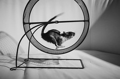 Perfect Running Form (Mushi Kid) Tags: running animal gerbil pet bw blackandwhite shadows nikon d750 midair