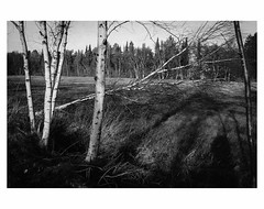 Worpswede Moor # 6 (bruXella & bruXellius) Tags: moor marsh bog marais winter landscape worpswede blackandwhite blackwhite monochrome grain grainy leicax1