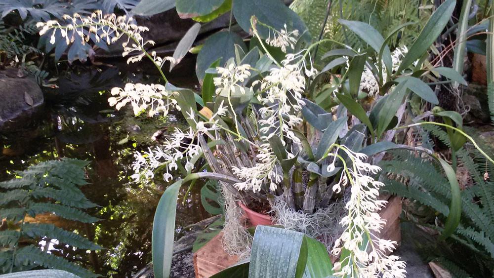 Dendrobium speciosum - MNHN