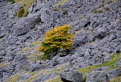 survivor (Albazog) Tags: glendoll angus scottishlandscape tree