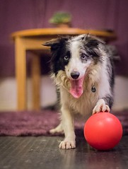 Love (Chris Willis 10) Tags: will dog border collie ball