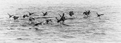 Coots launching (billd_48) Tags: fall tn nature water birds coot