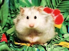 Big Girl ~ Bulinka (pyza*) Tags: hamster hammie syrian syrianhamster chomik chomiksyryjski animal pet rodent critter adorable cute sweet furry fluffy monster