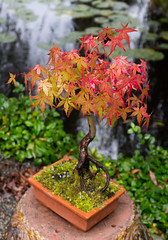 Miniature Penjing Maple (TheOtter) Tags: chinesegarden maple penjing tree