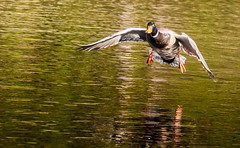 Up and down.... (Steve-h) Tags: bushypark birds nature natura mallard drake water reflections colour colours green olive yellow orange brown bronze dublin ireland europe spring march 2016 steveh bcelllymphoma tcelllymphoma