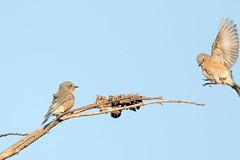 Western Bluebirds (Garrett Lau) Tags: shoreline westernbluebird birds
