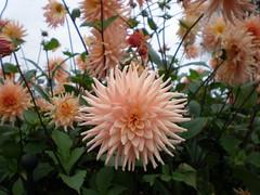 Dahlia. (~Ingeborg~) Tags: meinge flower bloem dahlia pink roze najaar autumn groen green prachtig wonderful flowersmakemehappy bloemenmakenmijblij nederland holland nederhorstdenberg ankeveensepad spiegelplas ingeborg stilte silence atmosphere sfeer mood