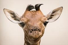 2016-11-20-14h02m07.BL7R5155 (A.J. Haverkamp) Tags: canonef100400mmf4556lisiiusmlens amsterdam noordholland netherlands zoo dierentuin httpwwwartisnl artis thenetherlands giraffe netgiraffe dob16112016 nl giraffacamelopardalisreticulata