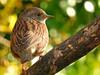 Alert dunnock! (macfudge1UK) Tags: nature 2016 avian bird britishbird britishbirds england fauna gb greatbritain oxfordshire oxon uk wildlife ©allrightsreserved rspbamberstatus bbcspringwatch autumn nikon coolpix coolpixp610 p610 nikoncoolpixp610 britain branch dunnock prunellamodularis goldwildlife ngc npc alittlebeauty coth