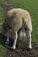 Cefn Mably Farm (8) (Leeber) Tags: cefnmablyfarm sheep farm testicles balls nads bollocks