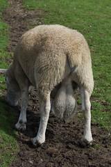Cefn Mably Farm (8) (Leeber) Tags: cefnmablyfarm sheep farm testicles balls nads bollocks