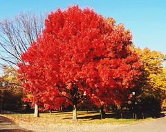 Central Park Red Maple (ZoK) Tags: newyork greatlawn outside fall centralpark foliage tree maple redmaple red