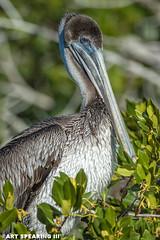 Ding Darling Brown Pelican (freshairphoto) Tags: brown pelican mangrove ding darling national wildlife refuge drive sanibel island florida artspearing nikon d70 300mm telephoto teleconverter tripod