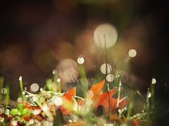 autumn magic (salalstudio) Tags: leaf autumn dew droplets macro outdoors bokeh tamron52bb90mmf25 pacificnorthwest britishcolumbia