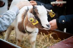 (anto291) Tags: capra capretta cagnessurmer châtaigne fêtedelachâtaigne festadellacastagna castagna