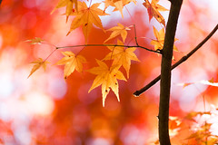 Autumn bokeh (Irina1010 - out) Tags: maple leaves golden bokeh colorful light autumn beautiful nature canon