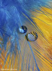 Nevena Uzurov - Blue (Nevena Uzurov) Tags: waterdrops drops droplets macro light refraction feather nevenauzurov serbia