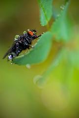 Fluga_IGP0256_web (Erik Koffmar) Tags: fly insect bug leaf drops waterdrop dropplets green monster alien macro closeup macrodreams koffmar norby sweden uppsala bokeh