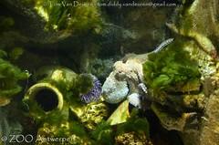 Octopus - Octopus vulgaris (MrTDiddy) Tags: octopus vulgaris weekdier mollusk zooantwerpen zoo antwerpen antwerp