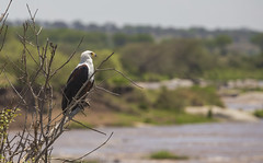 Birding along the Mara River (JoCo Knoop) Tags: tanzania serengeti marariver