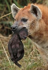 spotted hyena Blijdorp JN6A3072 (j.a.kok) Tags: hyena spottedhyena gevlektehyena crocutacrocuta blijdorp zoogdier mammal kira predator afrika africa
