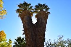 California Fan Palm (Washingtonia filifera) (Camden S. Bruner) Tags: joshuatree nationalpark riversidecounty ca california washingtoniafilifera californiafanpalm fanpalm oasis