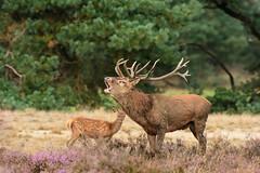 Red deer burl (skees499 ) Tags: reddeer edelhert keesmolenaar d7200 nikon rutting burlen bronst veluwe netherlands wildlife natuur nature