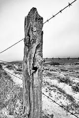 les barbelés dans la brume NkSEP  LM+35 1003059 (mich53 - thank you for your comments and 3M views!) Tags: élémentsdeclôture barbelés interdiction monochrome télémètre explore normandie vacances poteau bois vieuxbois dangereux noirblanc bw fenceelements barbed wire prohibition rangefinder normandy holidays post wood oldwood dangerous dunes zaunelemente stacheldraht verbot einfarbig entfernungsmesser explores urlaub pol holz altesholz gefährlich dünen