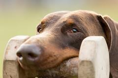 607A5940 (Bianca Schouten) Tags: doberman dobermann dogs dog