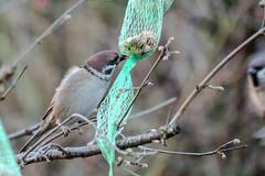 Spatz an der Futterkette - Sparrow at the feeding chain (riesebusch) Tags: berlin garten marzahn vögel