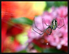 IMG_4777 Looming 12-8-16 (arkansas traveler) Tags: orbweaver spider spiderweb bokeh bokehlicious nature naturewatcher natureartphotography zoom telephoto arachnid abstract dominicanrepublic republicadominicana