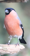 COTSWOLD WATER PARK 4TH DEC 2016 017 (WiltsWildAboutBirds) Tags: wiltshirebirds wildaboutwiltshire finch male bullfinch cotswoldwaterpark4thdec2016